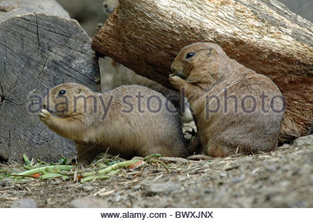 Black Tailed Prairie Dog (Cynomys Ludovicianus) in Beardsley Zoo Connecticut - Stock Photo