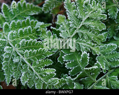 Frosty fern leaves closeup with ice crystals, Dorst, Noord Brabant, the Netherlands - Stock Photo