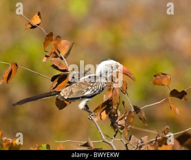 Red-Billed Hornbill Tockus erythrorhynchus Kruger National Park South Africa - Stock Photo