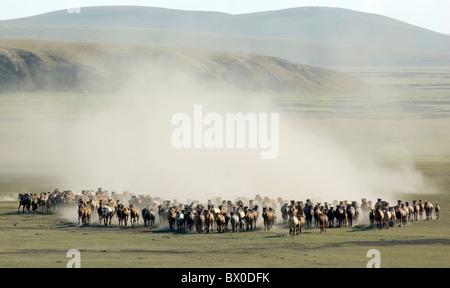 Galloping Mongolian horse herd, Hulun Buir Grassland, Manzhouli, Hulunbuir, Inner Mongolia Autonomous Region, China - Stock Photo