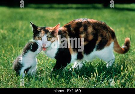 tortoiseshell cat kitten mother young pet animal two outdoor garden daytime grass color cute symbol mot - Stock Photo
