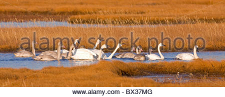 Alaska. Tundra swan (Cygnus columbianus) adults and cygnets in a territorial dispute in the wetlands of Safety Sound, - Stock Photo