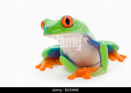 Red-Eyed Treefrog (Agalychnis Callidryas) - Stock Photo