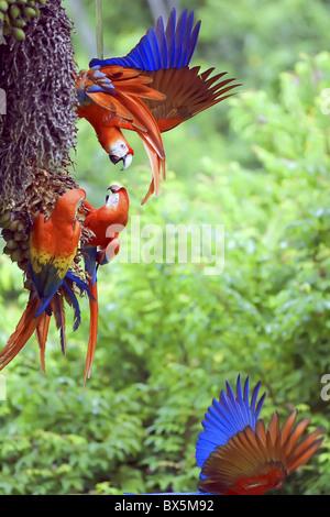 Scarlet Macaws (Ara macao) arguing, Corcovado National Park, Osa Peninsula, Costa Rica, Central America - Stock Photo