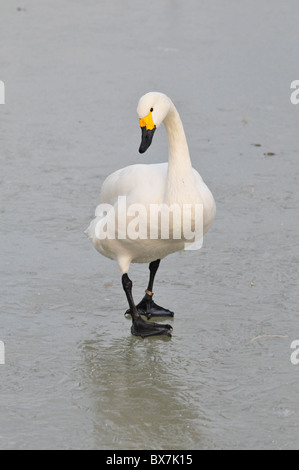 Bewick's swan on ice - Stock Photo