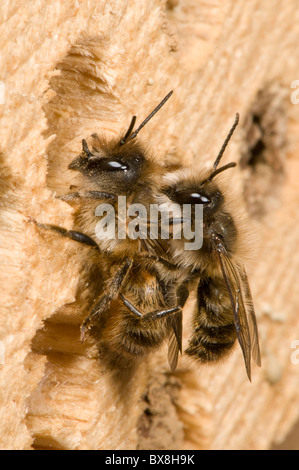 Mating pair of horn-faced bees (Osmia cornifrons), Horn-faced bees mating - Stock Photo