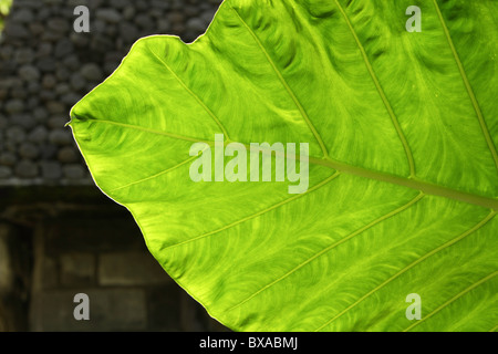 Elephant ear leaf highlighted by sun - Stock Photo