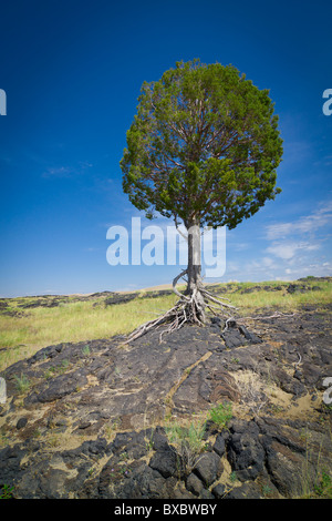 Single tree growing in the middle of a barren desert of rock and grass against a deep blue sky - Stock Photo