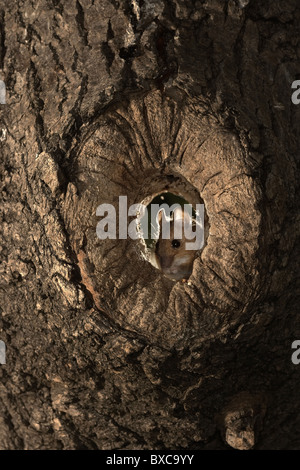 Wood mouse, Apodemus sylvaticus in a whole in tree - Stock Photo