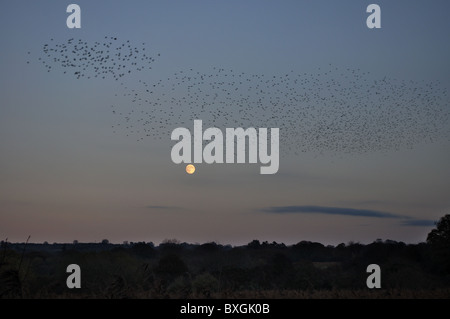 Starlings ready to roost, teifi marshes nature reserve, cilgerran, pembrokeshire, wales, united kingdom - Stock Photo