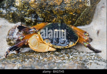 Swift footed rock crab Leptograspus variegatus sheltering between rocks on a beach in Western Australia - Stock Photo