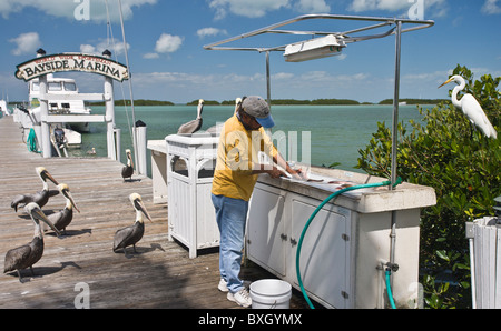 Fisherman at Bayside Marina gutting fish catch watched by Brown Pelicans and Great White Egret, Florida Keys, USA - Stock Photo