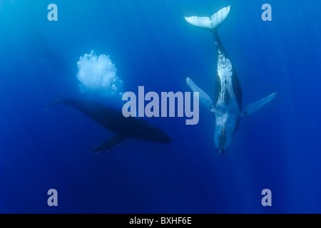humpback whales, Megaptera novaeangliae, courtship behavior - competing male whlae approaching female while aggressively - Stock Photo