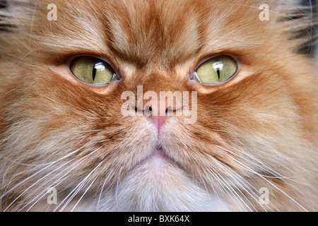 Close up of ginger Persian cat face only - Stock Photo