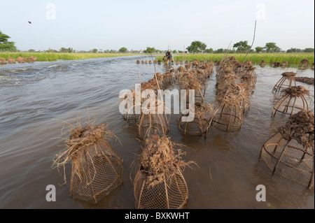 Bozo villager catching fish with traps in the flooded fields of the 'Niger Inland Delta' near Djenné, Mali. - Stock Photo