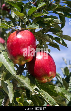 Red Delicious apples grow on the tree in Idaho, USA. - Stock Photo