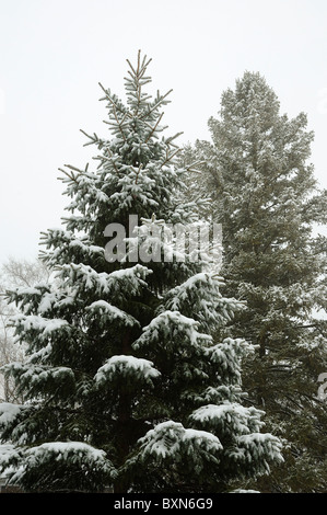 Snow covered forest pine trees - Stock Photo