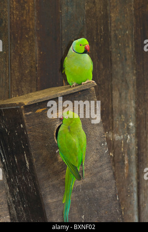 Indian Ringneck Parakeet Psittacula krameri manillensis World of Birds Cape Town South Africa Captive - Stock Photo