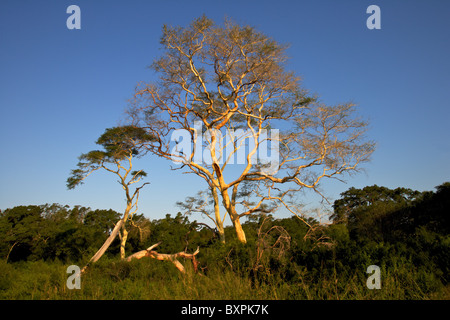 Fever trees (Acacia xanthophloea) growing near Nsumo Pan in Mkhuze Game Reserve, South Africa. - Stock Photo