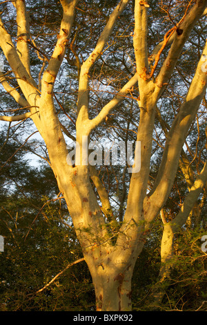 A fever tree (Acacia xanthophloea) growing near Nsumo Pan in Mkhuze Game Reserve, South Africa. - Stock Photo