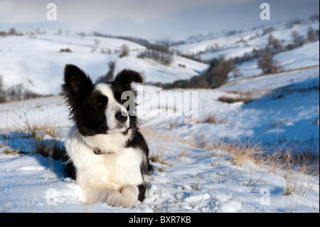 Border collie sheepdog in the snow on fell looking for stray sheep. - Stock Photo