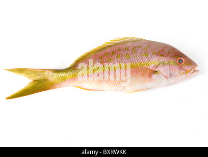 Yellow tail snapper, close-up - Stock Photo