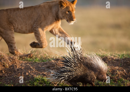 Africa Kenya Masai Mara Game Reserve Young male Lion (Panthera leo) chases after Crested Porcupine (Hystrix cristata) - Stock Photo