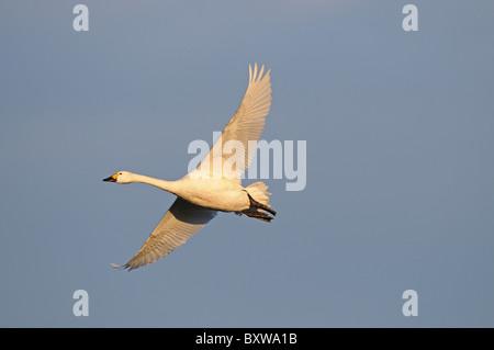 Bewick's Swan (Cygnus columbianus) adult in flight, Slimbridge, UK. - Stock Photo