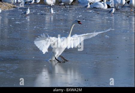 Mute Swan (Cygnus olor) walking on ice, wings outstretched, Slimbridge, UK. - Stock Photo