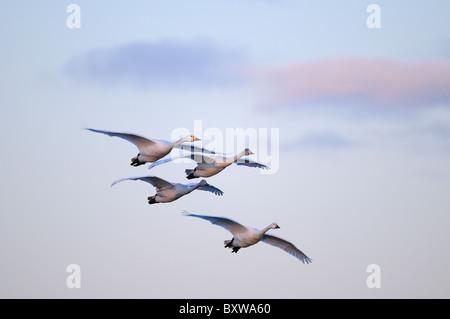 Bewick's Swan (Cygnus columbianus) family group of four in flight, Slimbridge, UK. - Stock Photo