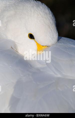 Bewick's Swan (Cygnus columbianus) close-up resting with beak under wing, Slimbridge, UK. - Stock Photo