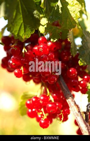 Fresh Redcurrants on a Redcurrant bush - Stock Photo