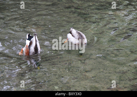 Mallard Ducks (Anas platyrhynchos) - Stock Photo