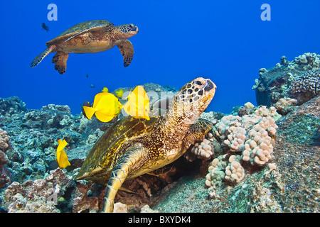 Green Sea Turtle cleaned by Tangs, Chelonia mydas, Big Island, Hawaii, USA - Stock Photo