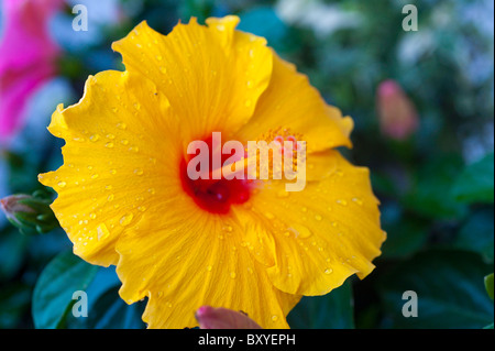 Yellow Hibiscus flower with drops of rain - Stock Photo