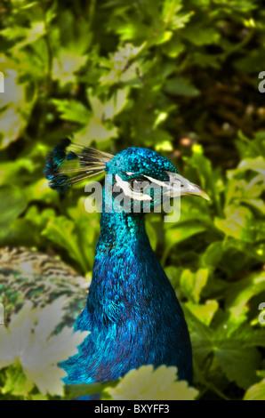Peacock in garden - Stock Photo