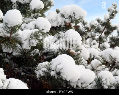 Pine tree with a heavy snow on it - Stock Photo