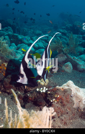 Longfin bannerfish (Heniochus acuminatus). Bali, Indonesia. - Stock Photo