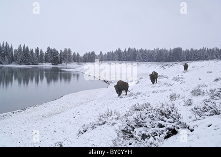 American Bison traveling along a wintry lakeshore in Yellowstone National Park. - Stock Photo
