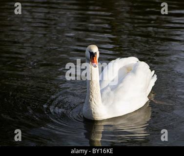 Swan swimming on lake - Stock Photo