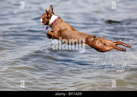 A red brown boston terrier dog leaps into the water flying in mid air - Stock Photo
