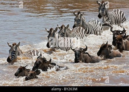 Wildebeest and Zebra crossing the Mara River during the annual Wildebeest migration from the Serengeti National - Stock Photo