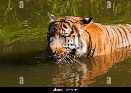 Malayan tiger Panthera tigris malayensis swimming in water - Stock Photo