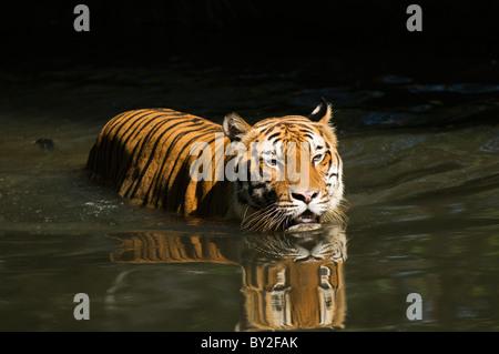 Malaysian tiger Panthera tigris malayensis swimming in water. - Stock Photo