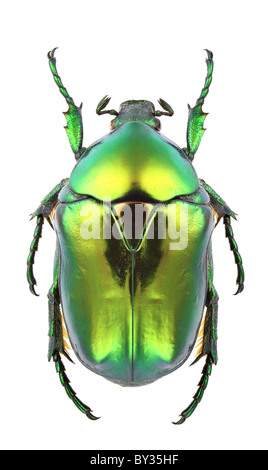 Male of Protaetia aeruginosa isolated on white background. - Stock Photo