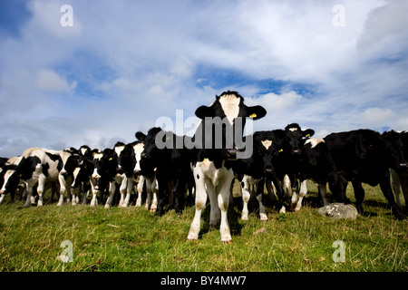 Line of Holstein (friesian) cows, Dumfries and Galloway, Scotland - Stock Photo