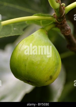 Common Fig, Ficus carica, Moraceae. Mediterranean, South West Asia. - Stock Photo
