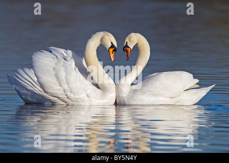 MUTE SWANS FORMING A HEART SHAPE WITH THEIR NECKS DURING COURTSHIP - Stock Photo