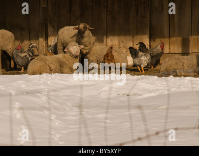Sheep and chickens under shelter from snow - Stock Photo