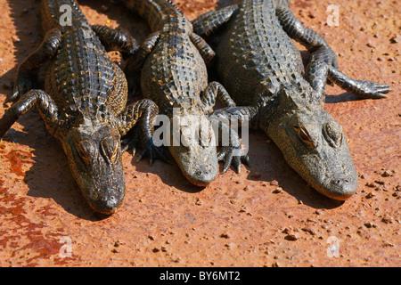 Three young alligators sleeping on the rock. Everglades national park, Miami - Florida - Stock Photo